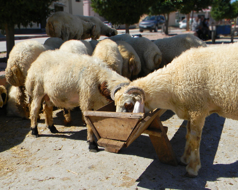 Sheep Handling Shepparton, Water Cartage Elphinstone, Cartage and Supplies Victoria, Foot Paring and Mulsing Bendigo, Tractor Work Ballarat, High-end Grain Geelong